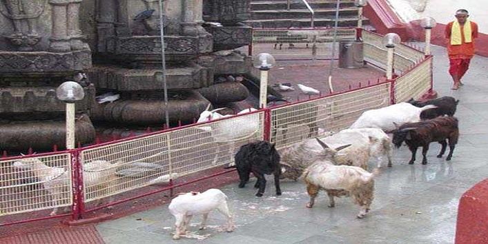 Animals Roaming Around the Kamakhya Temple